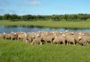 Uruguay estimó que en 2019 se exportarán 20.000 ovinos a Estados Unidos
