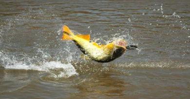 Comienza la veda pesquera de surubí en toda la provincia